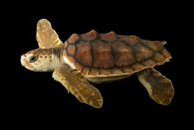 An Endangered Juvenile Loggerhead Sea Turtle, Caretta Caretta. by Joel Sartore