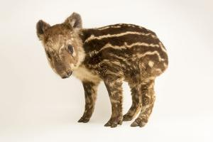 An endangered juvenile mountain tapir, Tapirus pinchaque, at the Cali Zoo. by Joel Sartore