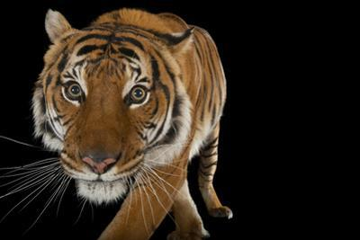 An Endangered Malayan Tiger, Panthera Tigris Jacksoni, at Omaha Henry Doorly Zoo. by Joel Sartore