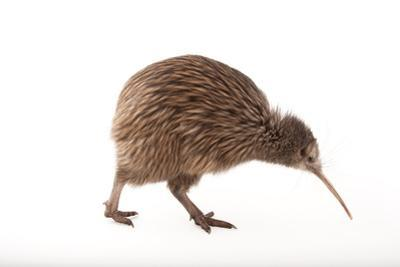 An Endangered North Island Brown Kiwi, Apteryx Mantelli, at the Columbus Zoo. by Joel Sartore