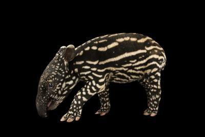 An Endangered Six-Day-Old Malayan Tapir, Tapirus Indices, at the Minnesota Zoo by Joel Sartore