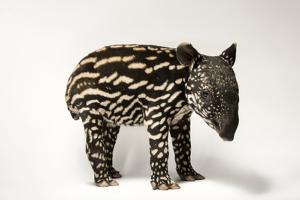 An Endangered Six-Day-Old Malayan Tapir, Tapirus Indicus. by Joel Sartore