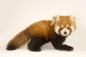 An Endangered Six Month Old Red Panda, Ailurus Fulgens, at the Virginia Zoo by Joel Sartore