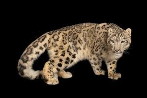 An Endangered Snow Leopard, Panthera Uncia, at the Miller Park Zoo by Joel Sartore