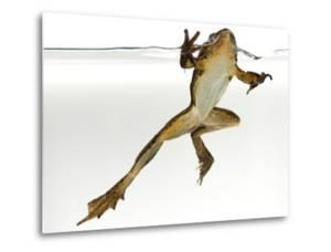 An Endangered Southern Mountain Yellow-Legged Frog, Rana Muscosa by Joel Sartore
