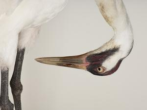 An Endangered Whooping Crane, Grus Americana by Joel Sartore