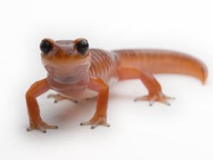 An Ensantina salamander by Joel Sartore
