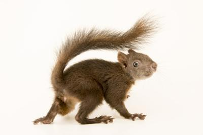An European Squirrel, Sciurus Vulgaris Alpinus by Joel Sartore