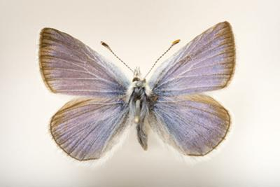 An Extinct 'Pheres' Boisduval's Blue Butterfly Mounted on a Pin