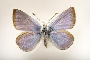 An Extinct 'Pheres' Boisduval's Blue Butterfly Mounted on a Pin by Joel Sartore