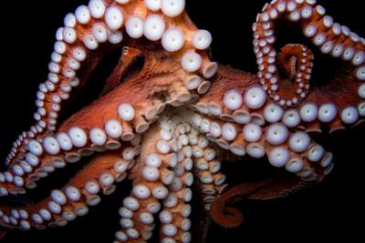 An Octopus, Octopoda, at the Dallas World Aquarium. by Joel Sartore