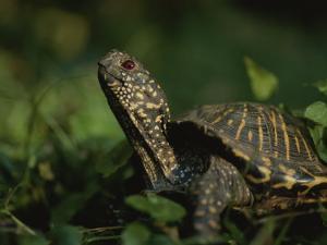 An Ornate Box Turtle Surveys the Surrounding Landscape by Joel Sartore