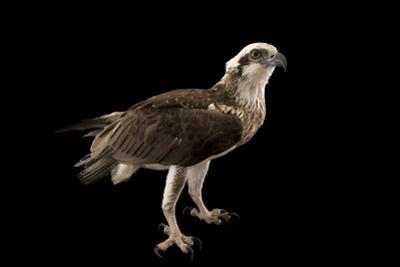 An Osprey, Pandion Haliaetus. by Joel Sartore