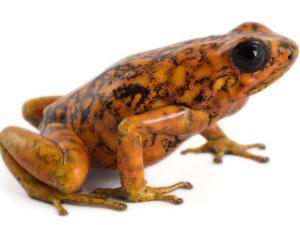 An threatened Oophaga sylvatica frog by Joel Sartore
