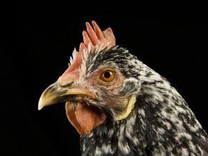 Ancona Chicken at the Soukup Farm Near Davey, Ne by Joel Sartore
