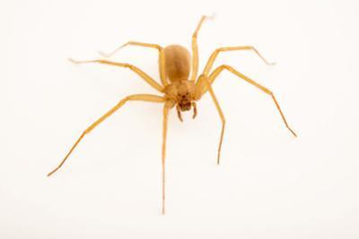 Arizona brown spider, Loxosceles arizonica by Joel Sartore