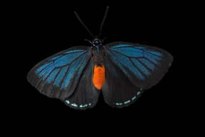 Atala butterfly at the McGuire Center of the Florida Museum of Natural History. by Joel Sartore