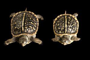 Baby Ornate Box Turtles, Terrapene Ornata. by Joel Sartore
