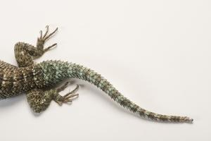 Back End of a Crevice Spiny Lizard, Sceloporus Poinsettii. by Joel Sartore