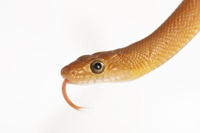 Baja California rat snake, Bogertophis rosaliae, at the Los Angeles Zoo. by Joel Sartore