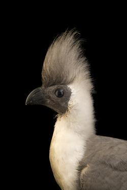 Bare Faced Go-Away-Bird, Corythaixoides Personata Leopoldi, from a Private Collection by Joel Sartore