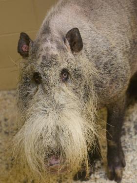 Bearded Pig from Borneo at the Henry Doorly Zoo, Nebraska by Joel Sartore