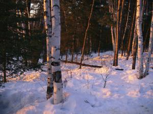 Birch Trees in the Snow at the International Wolf Center by Joel Sartore