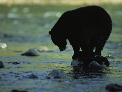 Black Bear Perched on Rock Watching for Fish by Joel Sartore