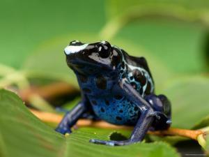 Blue and Yellow Poison Dart Frog, Sunset Zoo, Kansas by Joel Sartore