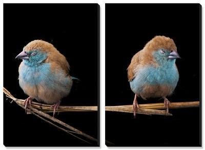Blue Waxbills - a Common Sight in Gorongosa's Dry, Bushy Grasslands by Joel Sartore