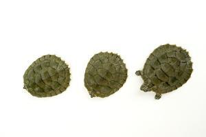 Cagle's Map Turtles, Graptemys Caglei. by Joel Sartore