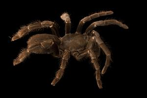 Cameroon red baboon tarantula, Hysterocrates gigas by Joel Sartore