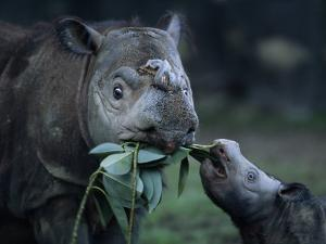 Captive Sumatran Rhinoceros and Her Calf Feeding on Leaves by Joel Sartore