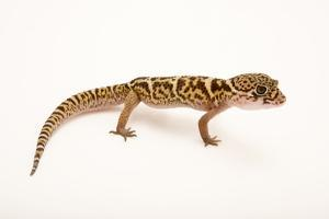 Central American banded gecko, Coleonyx mitratus, at the Nashville Zoo. by Joel Sartore