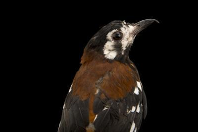 Chestnut Backed Thrush, Geokichla Dohertyi, from a Private Collection