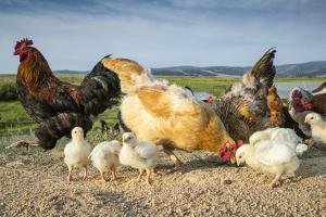 Chicken and chicks on a farm in Laramie, Wyoming. by Joel Sartore