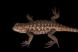 Clark's spiny lizard, Sceloporus clarkii, at Liberty Wildlife. by Joel Sartore