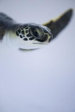 Close Up of a Green Sea Turtle, Chelonia Mydas, at Xcaret Park. by Joel Sartore