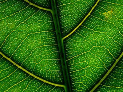 Close-up of a Leaf of the Extremely Rare Plant Alectryon Macrococcus by Joel Sartore