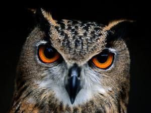 Close-up of an Owl by Joel Sartore