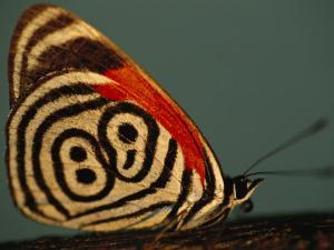 Close View of a Callicore Neglecta Butterfly by Joel Sartore