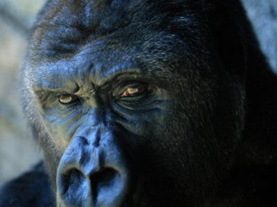 Close View of a Gorilla by Joel Sartore