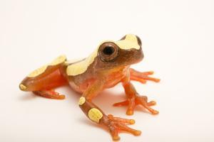 Clown treefrog, Dendropsophus leucophyllatus, at the Nashville Zoo. by Joel Sartore