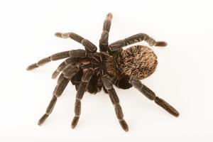 Colombian lesser black tarantula, Xenesthis immanis by Joel Sartore