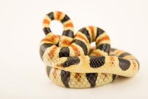 Colorado desert shovelnose snake, Chionactis occipitalis annulata, at Phoenix Zoo. by Joel Sartore