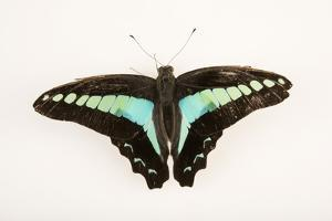 Common bluebottle, Graphium sarpedon luctatius, at Malacca Butterfly and Reptile Sanctuary by Joel Sartore