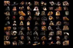 Composite of 90 Different Species of Primates by Joel Sartore