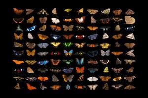 Composite of one hundred different species of butterflies and moths. by Joel Sartore