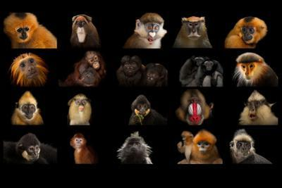 Composite Of20 Different Species of Primates by Joel Sartore
