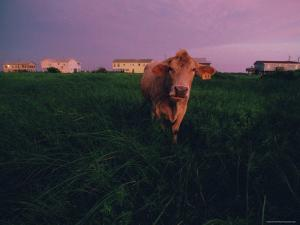 Cow Walks near Beachhouses in Galveston by Joel Sartore